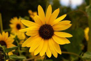 Teri Temme Sunflower 2020